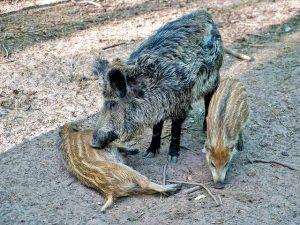 Von Wildschweinen bis Handelswelpen