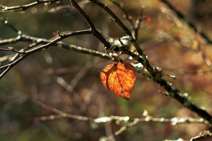 ein rot-goldenes Herbstblatt hängt an einem sonst kahlen Zweig