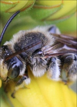 """Sag' mir, wo die Bienen sind…"""