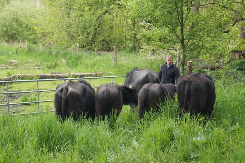Wasserbüffel auf der Weide