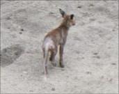 Armer Reinecke! Fuchsräude lässt Tiere leiden