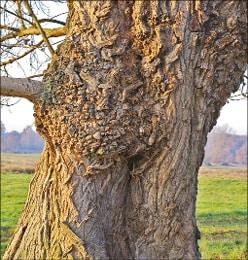 Imposante Bäume fürs Tegeler Fließ