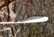 Neun Bäume an Schönfließer Straße werden gefällt