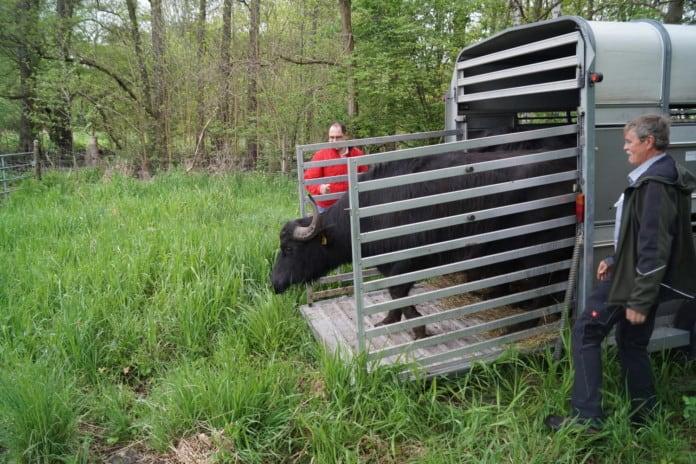 Wasserbüffel steigt aus Anhänger aus